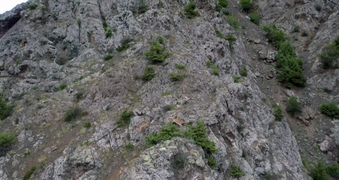 Keçilerin zirveye yolculuğu havadan görüntülendi