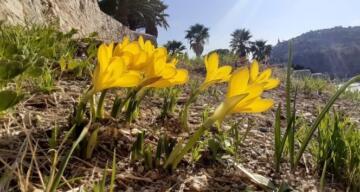 Tarihi Güvercinada'nın doğal çiçekleri açmaya başladı